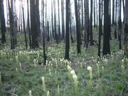 Bear Grass returns to the Biscuit Burn
