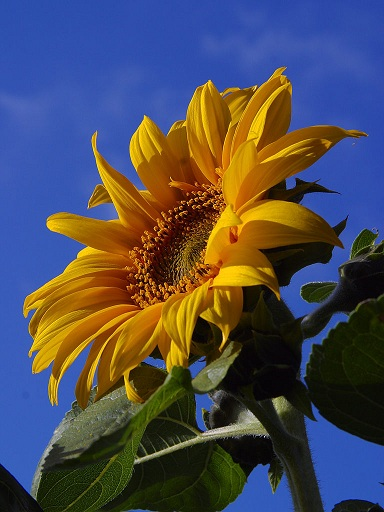Sunflower © PdPhotoBlog dot Org