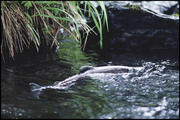 First Salmon return to Johnson Creek