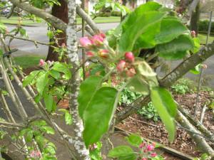 espaliered apple on mini-dwarf rootstock