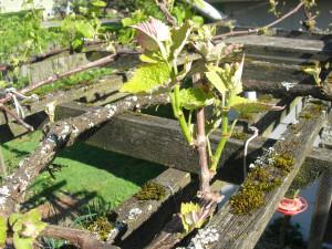 pruned grape vine