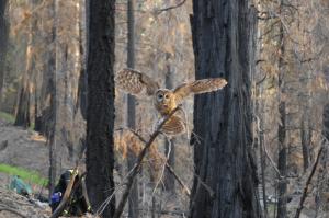 Female spotted owl flying over burn