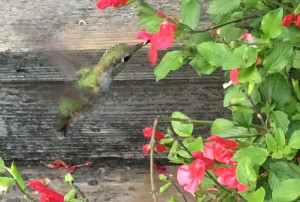 backyard hummingbird feeding on salvia