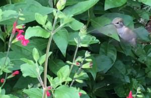 Anna's Hummingbird feeding on salvia