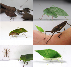 Six different species of katydids are being shown
