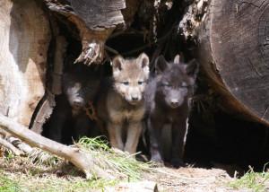 Oregon Wolf Pups