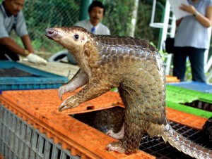 Pangolin, the most trafficked wild animal in the world
