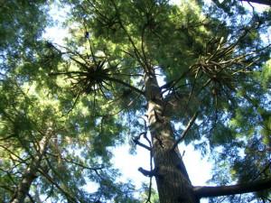 NW Coastal Cedar rainforest
