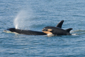 Southern Resident Orca mother Tehlaquah & dead calf
