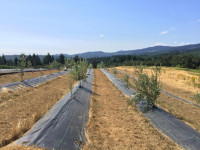 Olive trees growing in rows in Oregon