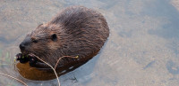 Beaver swimming credit Jim Ecklund